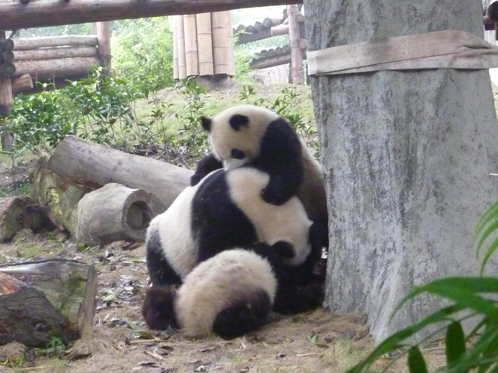 Giant Panda Cubs Playing Chengdu Panda B...