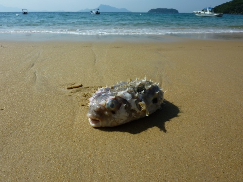 Puffer fish on one of the beaches en route to Lopes Mendes