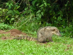 Coati, raccoon like animal