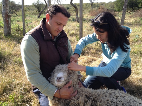 Trimming the fringe so the sheep can see